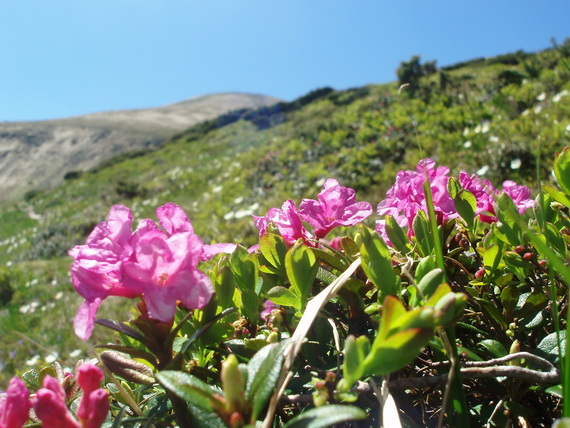 http://www.naturalist.if.ua/wp-content/rhododendron-hoverla.jpg
