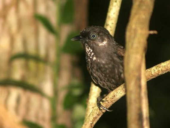 Тимелія-стахірис нонґґанґійська (Stachyris nonggangensis Fang & Aiwu, 2008). Джерело: http://www.sciencedaily.com