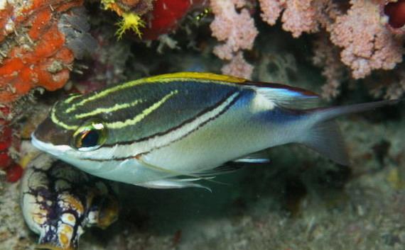 Морський лящ (Scolopsis bilineata (Bloch, 1793) - один із клієнтів Риб-чистильників