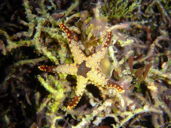 Морська зірка на коралах