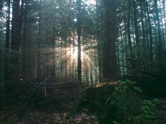 Сонячні промені прориваються крізь темряву смерекового лісу (світлина Андрія М. Замороки)