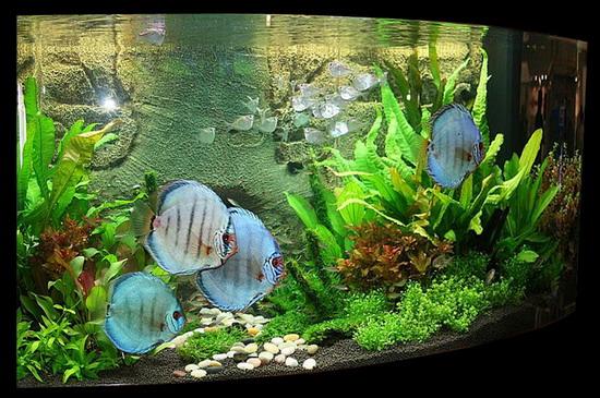 Приклад декорування великого акваріуму (250-350 л) із великими яскравими рибами