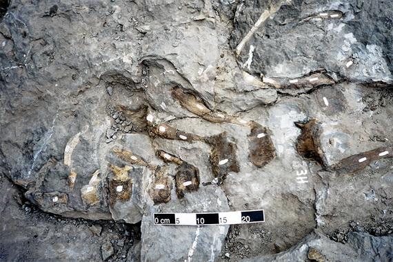 Аренізавр Ардевола (Arenysaurus ardevoli Xabier, Canudo, Cruzado-Caballero, Barco, López-Martínez, Oms et Ruiz-Omeñaca, 2009). Джерело: http://www.technobahn.com