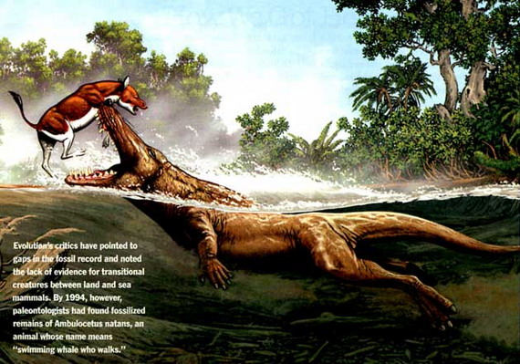 Амбулоцетус плаваючий (Ambulocetus natans Thewissen et cet., 1996). Джерело: http://www.templeton.cambridge.org