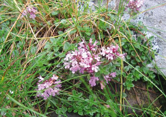 Місцями на високогірних луках трапляється Чебрець альпійський (Thymus alpestris A. Kern.) (світлина Руслана Жирака)