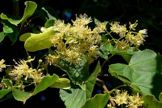 Квіти Липиа серцелистої (Tilia cordata Mill.) зібрані у густі суцвіття по 5-11