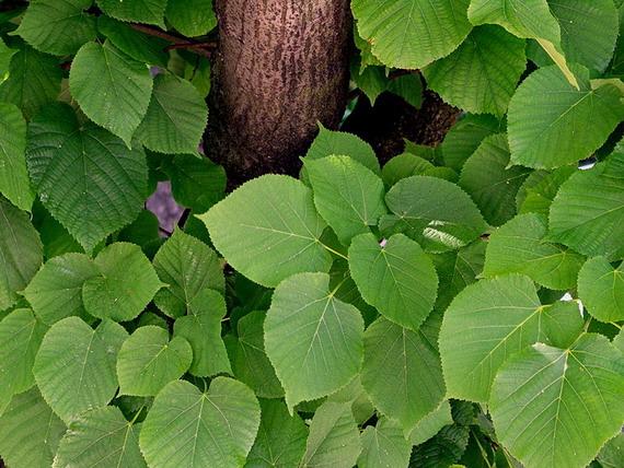 Липа широколиста (Tilia platyphyllos Scop.) має м'які широкі листки