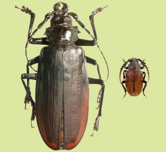 Порівняйте розміри 3-сантиметрового самця Вусача-шкіряника (справа), що розповсюджений в Україні, та 15-сантиметрового Вусача-титана (зліва) з Амазонії. Джерело Анндрій М. Заморока
