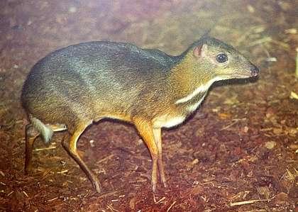Мала канчіль (Tragulus javanicus)