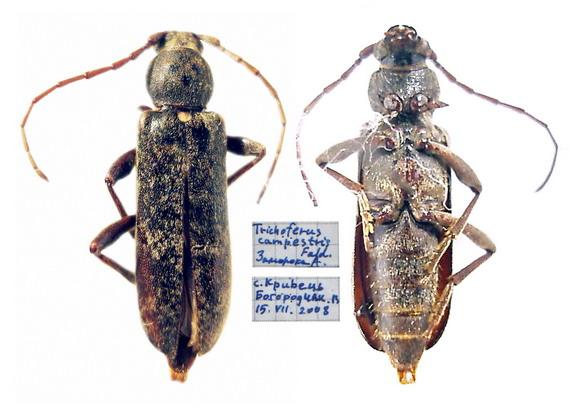 Самка Трихоферуса польового (Trichoferus campestris (Faldermann, 1835) впіймана на Передкарпатті