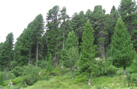 Кедровий ліс. Джерело: http:/www.biolib.cz
