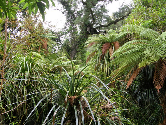 Дерево Каурі між сріблястими деревовидними паоротями і каурієвою травою. Джерело: http://www.galenfrysinger.com