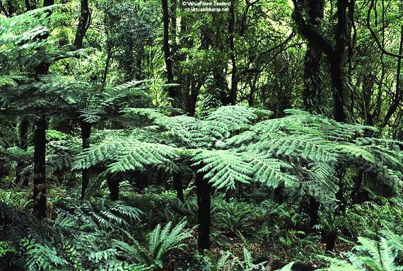 Срібляста деревовидна папороть (Cyathea dealbata) утворює третій ярус у лісах Каурі. Джерело: http://www.virtualoceania.net