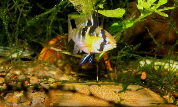 Самець Цихліди-метелика біля кладки з ікрою. Джерело: http://www.dwarfcichlid.com
