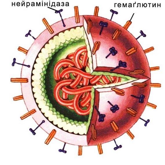 Схема будови віруса грипу. Джерело: http://www.zephyr.dti.ne.jp